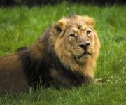 DZG lion featured on Inside Nature's Giants