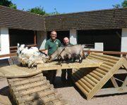 Pygmy goat playtime