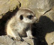 Newborn meerkats appear