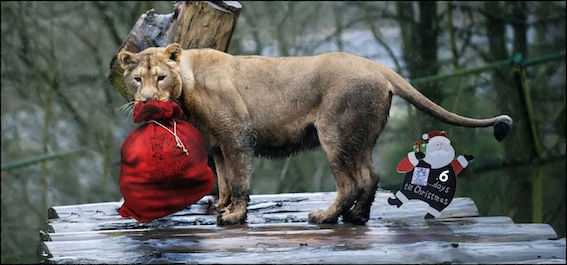 6_lions_0