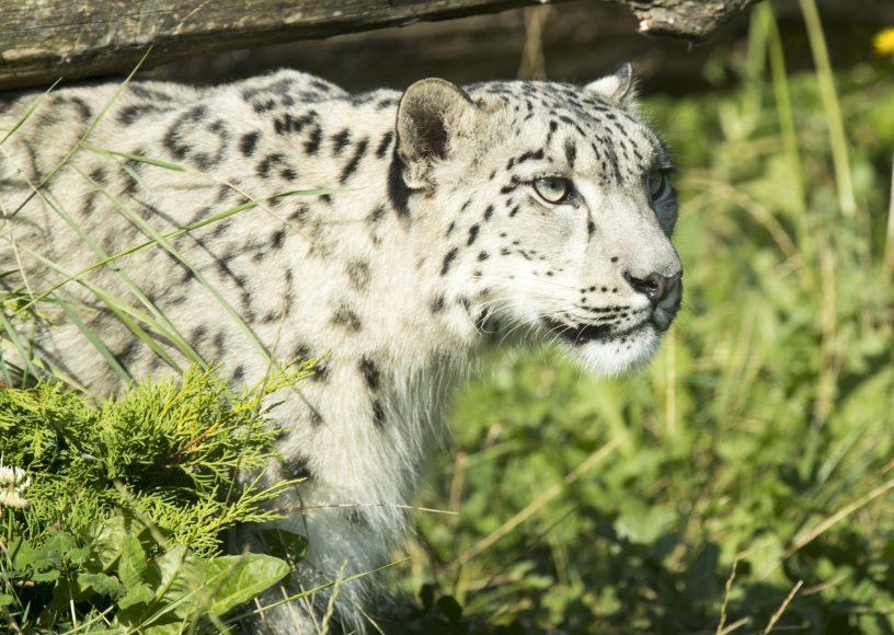 DZG Taiga snow leopard