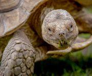 Tortoise ( African Spurred Tortoise)