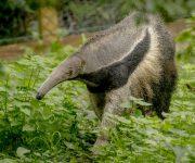 Anteater (Giant)