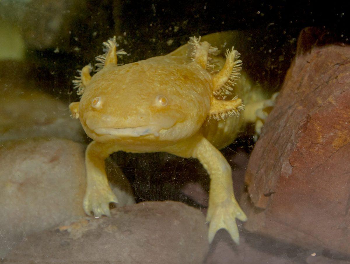 Axolotl Dudley Zoological Gardens