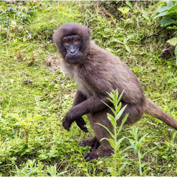 Baboon Billy 2016