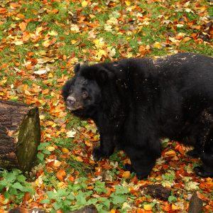 Bear Inca Photo
