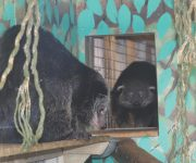 Sweet-smelling binturongs