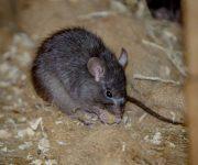 Rat (Black)