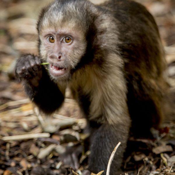 Capuchin Baby 06092017 (21)