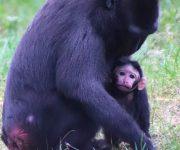Baby macaque birth