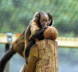 DZG-capuchins-2-web