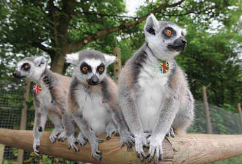 Lemur's Jubilee bling