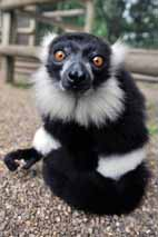 DZG-lemur-talc-2-web
