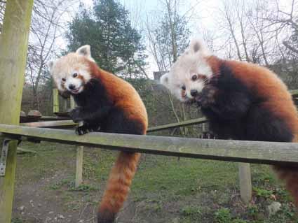 DZG-panda-paws-web