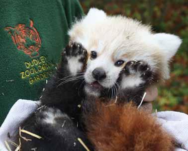 Red panda debut - it's a girl!