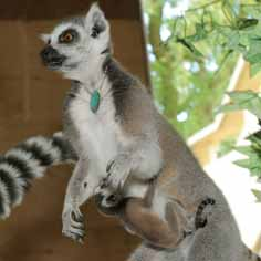DZG-ring-tailed-bab-web
