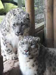 Snow leopard love-in