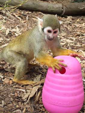 DZG-squirrel-monkey-play-web