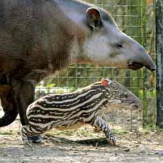 DZG-tapir-2-web