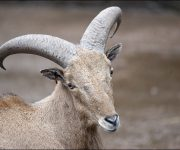 Sheep (Barbary)