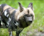 Dog (African Hunting Dog)