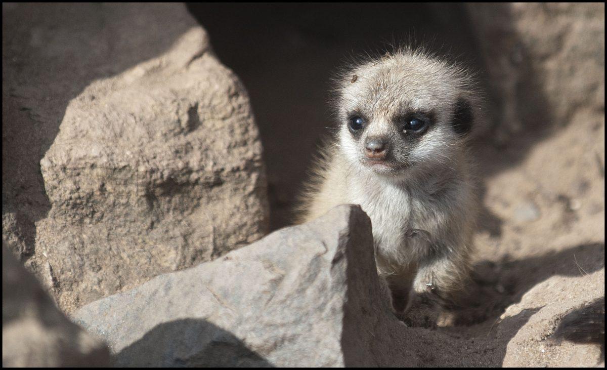 Meerkat Dudley Zoological Gardens