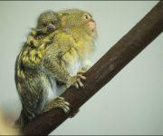 Marmoset (Pygmy)