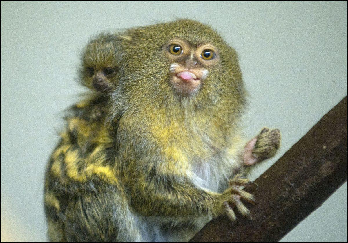 Marmoset Pygmy Dudley Zoological Gardens