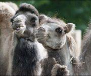 Camel capers
