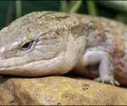 Skink (Blue-Tongued)