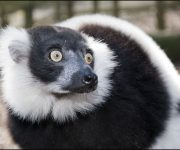 Lemur (Black-and-white-ruffed)