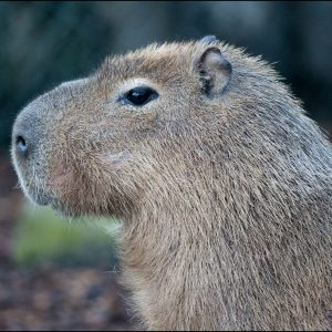 DZG_Capybara_Pumpkin1
