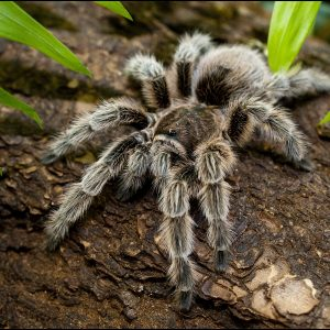 DZG_Chilean_Rose_Tarantula1