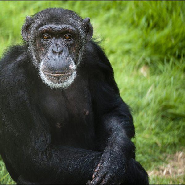 DZG_Chimpanzee_Binti2