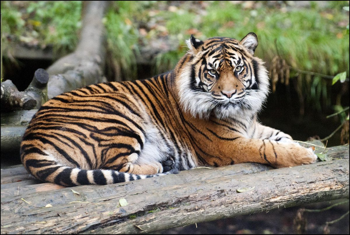 Tiger (Sumatran) - Dudley Zoological Gardens