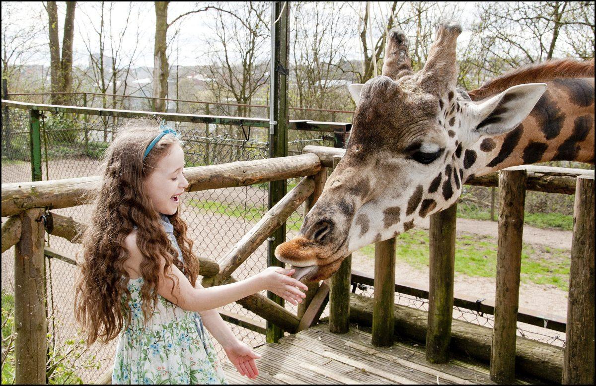 Giraffe Rothschild S Giraffe Dudley Zoological Gardens