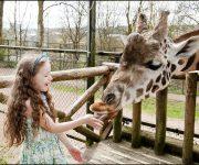 Giraffe (Rothschild's Giraffe)
