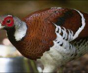 Pheasant (Elliot's)