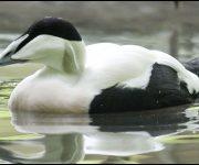 Duck (Eider Duck)