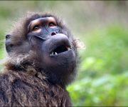 Baboon (Gelada)