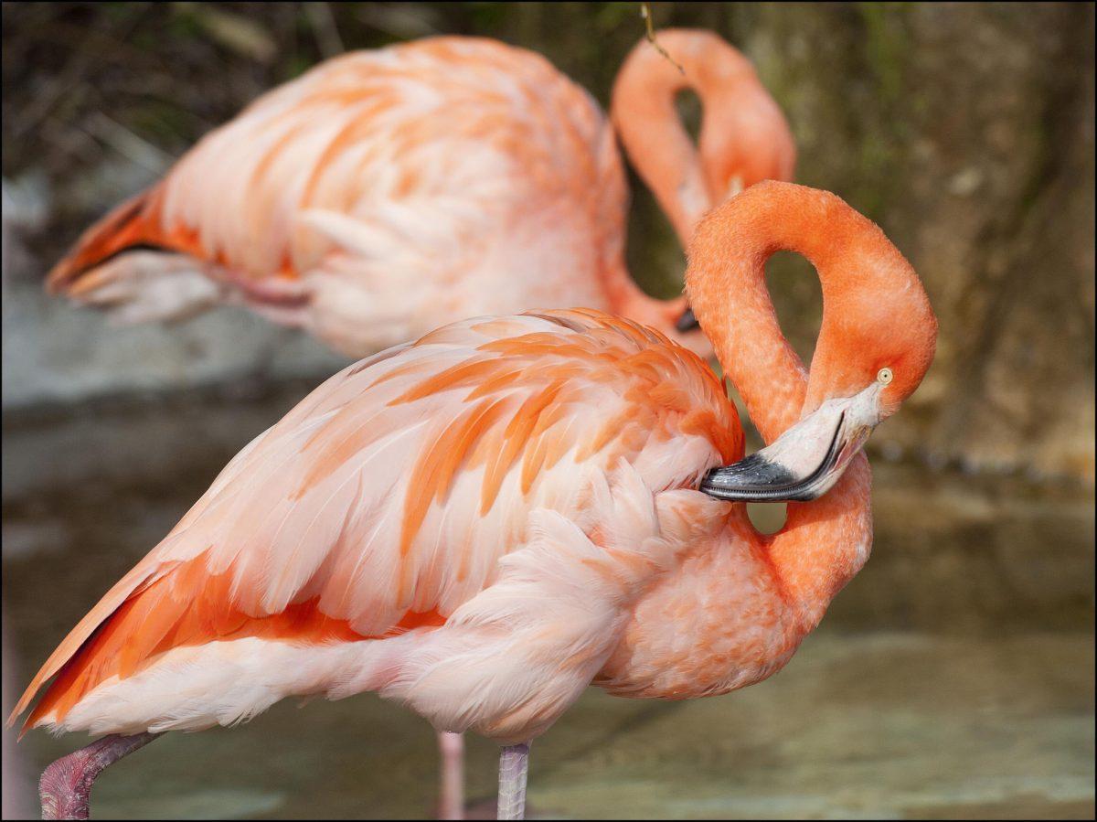 Flamingo Dudley Zoological Gardens