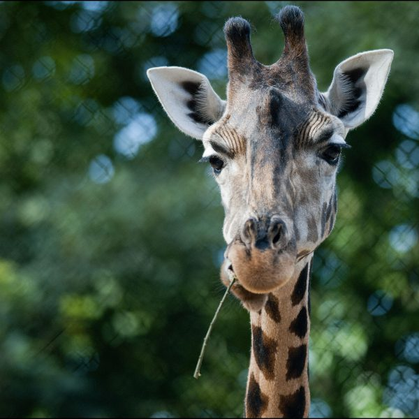 DZG_Giraffe_14