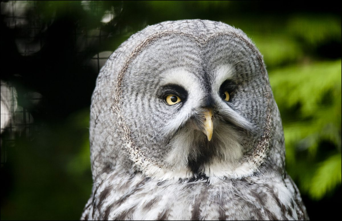 Owl (Great Grey Owl) – Dudley Zoo and Castle