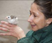 Guineafowl (helmeted)
