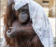 Primate playtime plea