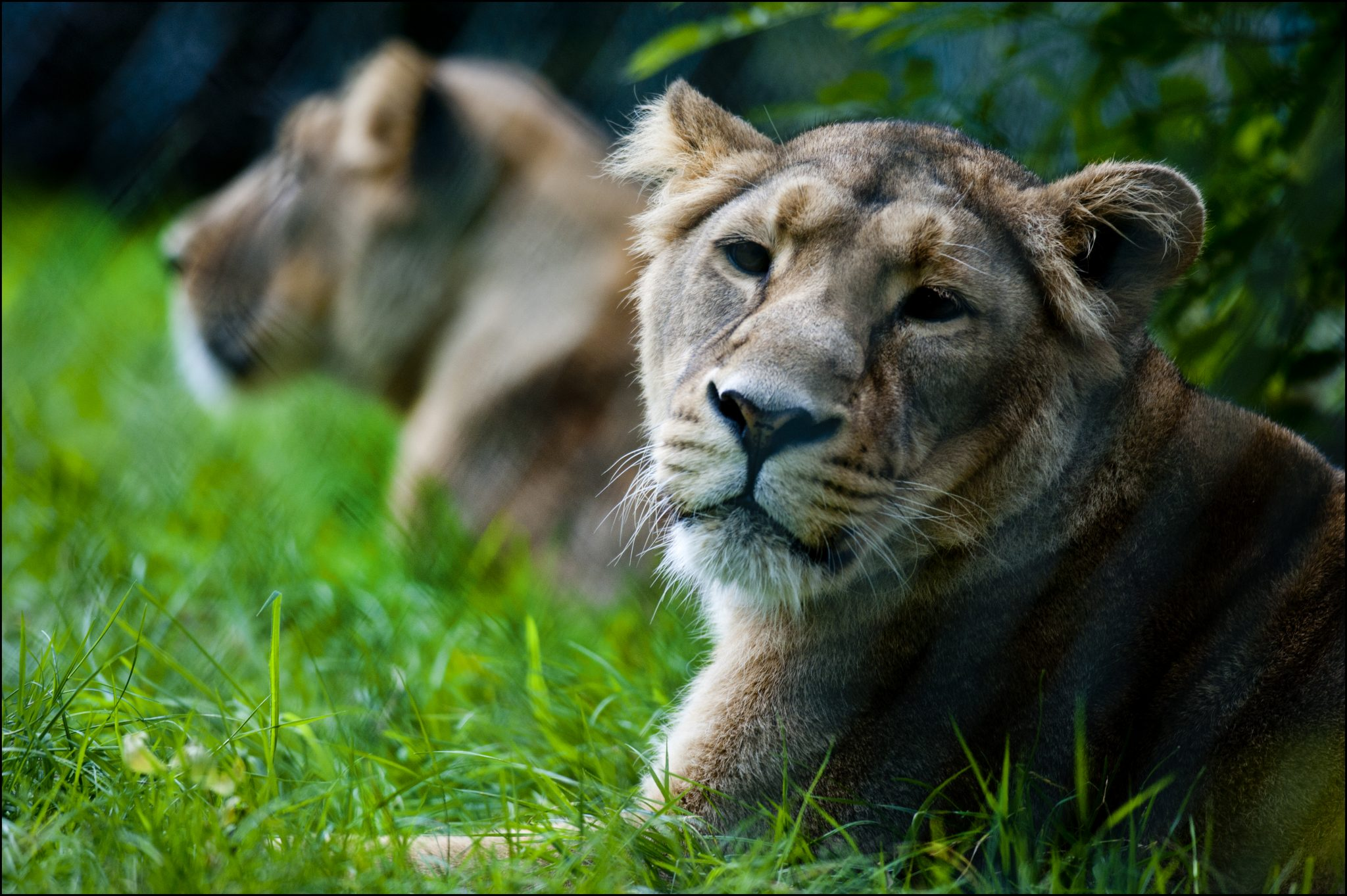 Loving our lions - Dudley Zoological Gardens