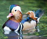 Duck (Mandarin)