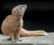 Mongoose (yellow)