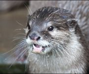 Otter (Asiatic Short-clawed)