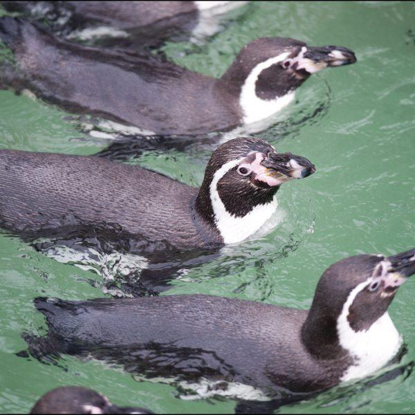 DZG_Penguins_Swimming4